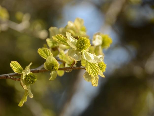 Фотофакт: в Крыму расцвело реликтовое растение