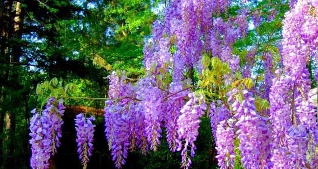 В Ялте прошел «День любования глицинией»